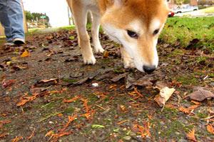 98107 Dog Walking, Sniff Seattle Ballard, Shiba Inu