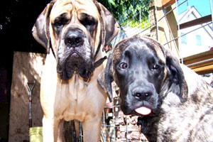 English Mastiff, Seattle Pet Care, Sniff Seattle Bellevue Dog Walkers