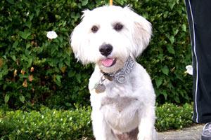 Ballard Dog Walking, Sniff Seattle Bellevue Dog Walkers, Schnoodle (Dog)