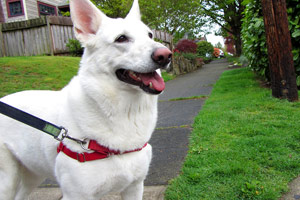 White German Shepherd, Wallingford, Seattle Bellevue Dogs
