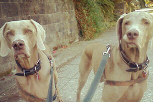 Weimaraners, Seattle Bellevue Dog Walkers, Dog Walker 98119