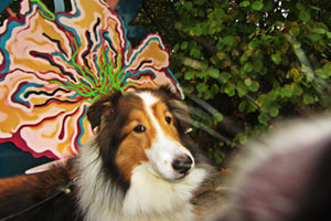 Bellevue Dogwalker, Shelties, Bellevue Dog Walking