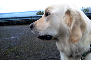 Dog Walking 98116, English Golden Retriever, Sniff Seattle Bellevue Dog Walkers