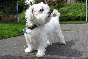 Maltese Dog, Sniff Seattle, West Seattle Dogwalkers