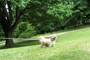 Dog Walking Wallingford, Sniff Seattle Bellevue Dog Walkers, Shih Tzus