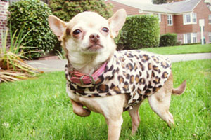 Sniff Seattle, Chihuahuas, Mercer Island Dog Walker