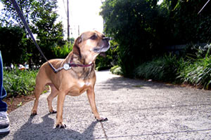 Pet Sitting Queen Anne, Sniff Seattle Pet Sitters, Puggles